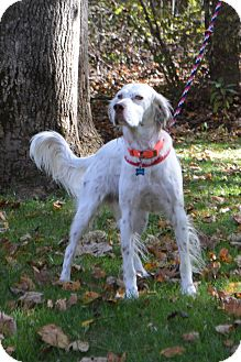 English Setter/Setter (Unknown Type) Mix Dog for adoption in Wood Dale, Illinois - Henry-Iowa