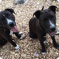 Adopt A Pet :: Shep - Brattleboro, VT