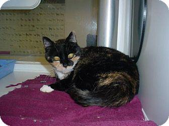 Domestic Shorthair Cat for adoption in Olympia, Washington - 37462