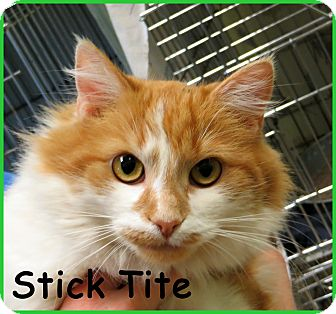 Domestic Longhair Cat for adoption in Warren, Pennsylvania - Stick Tite
