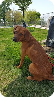 Hound (Unknown Type)/Labrador Retriever Mix Dog for adoption in Frankfort, Illinois - Cal