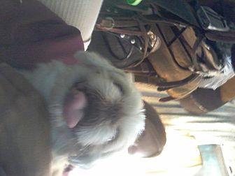 Pekingese/Shih Tzu Mix Dog for adoption in Malabar, Florida - Bugsy