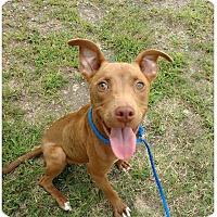 Adopt A Pet :: Rosie-being fostered2adopt - Fredericksburg, VA