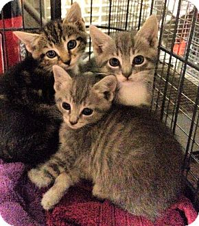 Domestic Shorthair Kitten for adoption in Moorestown, New Jersey - Kitten