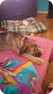 Schnauzer (Standard)/Terrier (Unknown Type, Small) Mix Puppy for adoption in Staunton, Virginia - Finnick