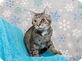 Domestic Shorthair Cat for adoption in Lowell, Massachusetts - Phillip
