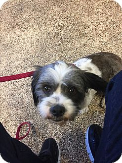 Shih Tzu/Basset Hound Mix Dog for adoption in Phoenix, Arizona - Dorothy