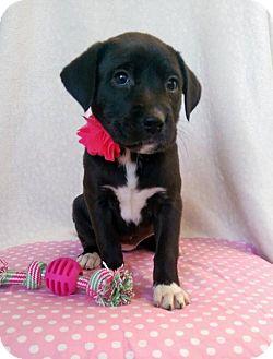 Labrador Retriever Mix Puppy for adoption in Elkton, Maryland - Laura