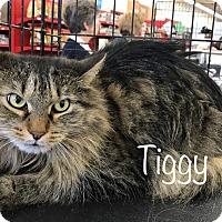 Adopt A Pet :: Tiggy  Love me - Sterling Hgts, MI