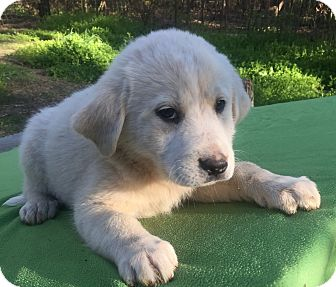 Great Pyrenees/Akbash Mix Puppy for adoption in Kittery, Maine - Scarlet