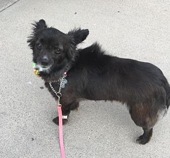 Chihuahua/Papillon Mix Dog for adoption in Chandler, Arizona - ANNABELLE 3