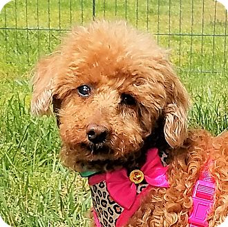 Poodle (Toy or Tea Cup) Dog for adoption in Covina, California - Blossom
