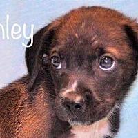 Adopt A Pet :: Stanley - Palatine/Kildeer/Buffalo Grove, IL