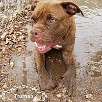 Pit Bull Terrier Dog for adoption in Phoenix, Arizona - Truman