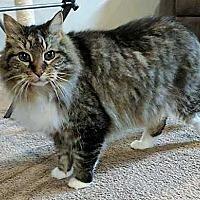Adopt A Pet :: Tiger VI - Muskegon, MI