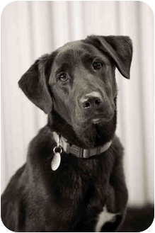 Labrador Retriever Mix Dog for adoption in Portland, Oregon - Farley