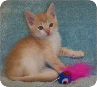 Domestic Shorthair Kitten for adoption in Reston, Virginia - Jerrie