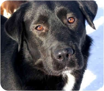 Labrador Retriever/Newfoundland Mix Dog for adoption in Jacksonville, Florida - Chase
