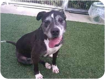 American Staffordshire Terrier/Labrador Retriever Mix Dog for adoption in Van Nuys, California - Sweet Cindy