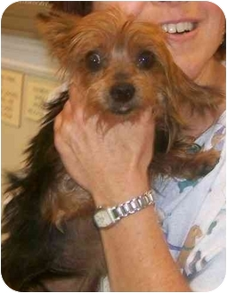 Yorkie, Yorkshire Terrier Dog for adoption in Oak Ridge, New Jersey - Davey