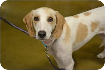 Setter (Unknown Type) Mix Dog for adoption in Davison, Michigan - Lilly