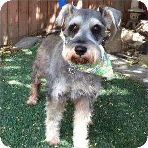 Schnauzer (Miniature) Dog for adoption in Redondo Beach, California - Nash