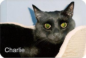 Domestic Shorthair Cat for adoption in Medway, Massachusetts - Charlie