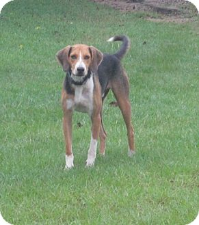 Treeing Walker Coonhound Mix Dog for adoption in Raeford, North Carolina - Mo