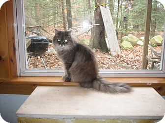 Domestic Longhair Cat for adoption in Portland, Maine - Asia