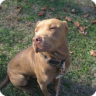Mastiff/Labrador Retriever Mix Dog for adoption in Bluff city, Tennessee - Scoobie