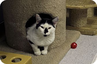 Domestic Shorthair Cat for adoption in Chicago, Illinois - Paraffin