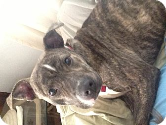 Pit Bull Terrier Mix Dog for adoption in Pittsburgh, Pennsylvania - JESSE