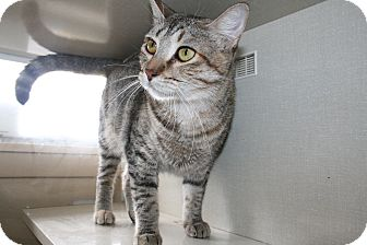 Domestic Shorthair Cat for adoption in San Antonio, Texas - Crystal