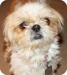 Shih Tzu Dog for adoption in Cheney, Kansas - Reggie