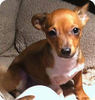 Chihuahua/Dachshund Mix Puppy for adoption in Smyrna, Georgia - Ferrit
