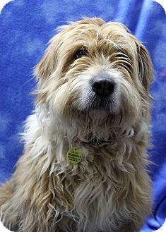 Tibetan Terrier/Retriever (Unknown Type) Mix Dog for adoption in Westminster, Colorado - Gloria