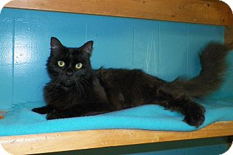 Domestic Mediumhair Cat for adoption in Dover, Ohio - Veronica