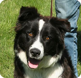 Border Collie Mix Dog for adoption in Nampa, Idaho - JAKE