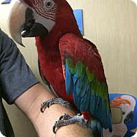 Adopt A Pet :: Zazu - Woodbridge, NJ