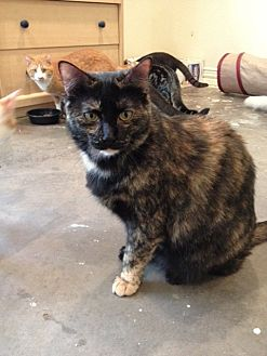 Domestic Shorthair Cat for adoption in Wichita Falls, Texas - Skye