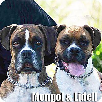 Boxer Dog for adoption in Encino, California - Mongol