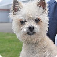 Adopt A Pet :: Chilli - Tumwater, WA