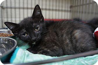 Domestic Shorthair Kitten for adoption in Henderson, North Carolina - Valerie