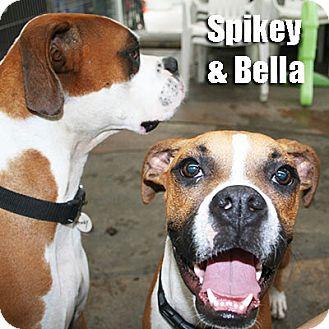 Boxer Dog for adoption in Encino, California - Bella