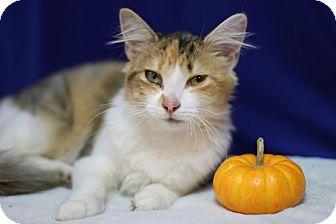 Domestic Mediumhair Cat for adoption in Midland, Michigan - Pumpernickel