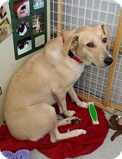 Australian Shepherd/Labrador Retriever Mix Dog for adoption in New Milford, Connecticut - Gala