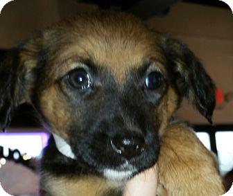 German Shepherd Dog Mix Puppy for adoption in Lake In The Hills, Illinois - alexa