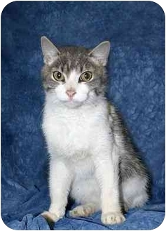 Domestic Shorthair Cat for adoption in Ladysmith, Wisconsin - C5564