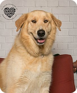 Golden Retriever/Siberian Husky Mix Dog for adoption in Inglewood, California - Jake