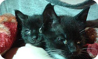 Domestic Mediumhair Kitten for adoption in Ocala, Florida - Tolkien